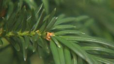 Pacific yew: A potent cancer fighting agent