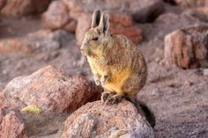 The Southern Viscacha or Mountain Viscacha (Lagidium viscacia) is a desert #rodent which also looks remarkably like a long-tailed #rabbit. Desert of Siloli, Bolivian #Altiplano, #Bolivia