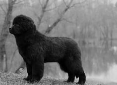 Newfoundland dog, puppy, teenager :)