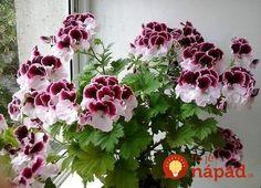 Chradnú vám izbovky pred očami a strácajú farbu? Dajte im do kvetináča toto a budú opäť krásne!