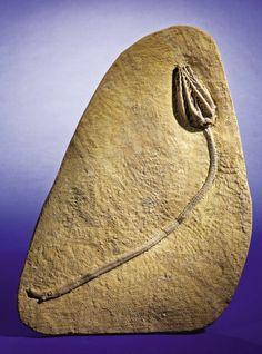 FINE FOSSIL CRINOID PLAQUE Barycrinus rhombiferus Carboniferous, Mississippian epoch, Osagean stage Edwardsville Farm, Crawfordville, Mon...
