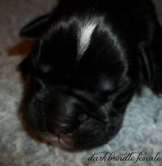 German Shorthaired Pointer Puppies Breeders Shorthaired