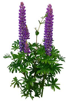 Lupines PNG.. by Alz-Stock-and-Art.deviantart.com on @deviantART