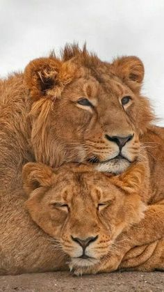 Rosamaria G Frangini | Adorable Animals | lions