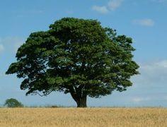california trees | The Worry Tree | Creative Endeavors, The Home of BoxcarOkie.com