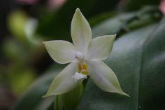 Phalaenopsis violacea var.alba