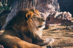 Over gratis billeder for Stor Kat og Dyr Lions Photos, 6 Photos, Animals Photos, Free Photos, Animal Pictures, Free Images, Lazy Animals, Wild Animals, Tanzania Safari