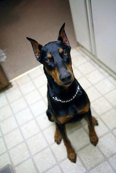 Dobies make awesome family pets.  http://www.animaroo.com