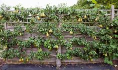 Espaliered pear 'Conference' trained against a fence