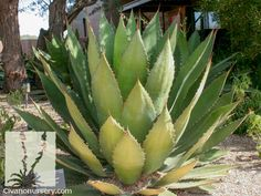 Agave bovicornuta.Cow Horn/Lechuguilla verde. Native succulent. Like other agaves, leaf tips are dangerously rigid and sharp and can can cause injury, consider pruning the leaf apexes. Requires well-drained soil/Filtered sun or afternoon shade preferred at lower elev. Yellow blossom. Full sun/part shade. Moderate growth rate.