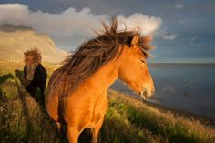 Sea breeze horses by Alessio Mesiano -- National Geographic Your Shot Horse Photos, Horse Pictures, All The Pretty Horses, Beautiful Horses, Equine Photography, Amazing Photography, Harmony Of The Seas, Icelandic Horse, Wild Mustangs
