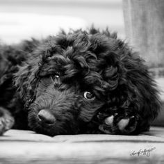 our goldendoodle looks like a portuguese water dog though she's not....whatever she is, she's cute!