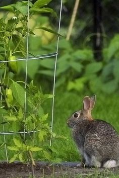 Rabbits may be cute but they can put a hurt on your garden. Lean how to prevent the furry ground rats from destroying your hard work now!