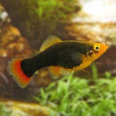 Redtail Black Variatus Platy | Xiphophorus variatus | PetSolutions
