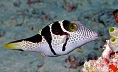 a Valentinni's sharpnose puffer, saddled puffer or black saddled toby (Canthigaster valentini)