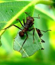 Formigas cortadeiras e lagartas dos cafeeiros - reconhecimento e controle  #alcanceosucesso