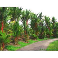 Mudas de Palmeira Laca Vermelha ( Cyrtostachys Lakka ) R$50,00 - EXOTICPALM | TodaOferta