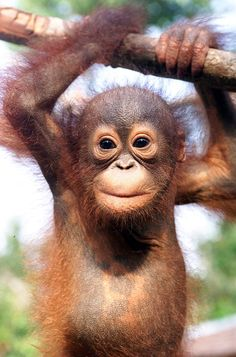 Baby orang utan at Sepilok reserve, Borneo.These people are trying so hard to save these amazing animals from extinction.