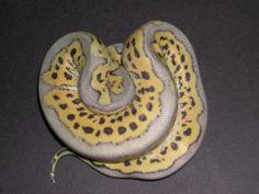 Kiler Clown Ball Python--Dang! Look at that pattern!
