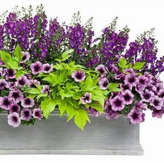 Blue angelonia, petunia Bordeaux, Caroline sweet potato vine—do this with ;pink petunias on back deck Window Box Flowers, Flower Boxes, Window Boxes, Container Flowers, Flower Planters, Fall Planters, Full Sun Container Plants, Petunias, Gemüseanbau In Kübeln