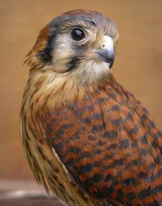 American Kestrel(Falco sparverius)