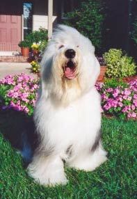 Old English Sheepdogs - Jean Park