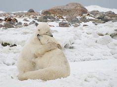 Wildlife, A Huge Bear Hug! The 'Polar Bear Capital of the.Funny Wildlife, A Huge Bear Hug! The 'Polar Bear Capital of the. Animals And Pets, Baby Animals, Cute Animals, Wild Animals, Funny Animals, Beautiful Creatures, Animals Beautiful, Animal Hugs, Perfectly Timed Photos