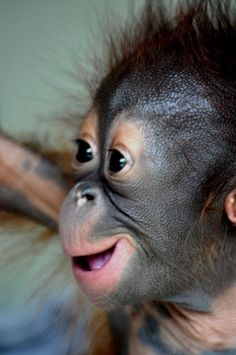Orangutan baby at babies house, Samboja Lestari, BOS-F, East Kalimantan Monkey Pictures, Baby Animals Pictures, Animals And Pets, Strange Animals, Baby Exotic Animals, Wild Animals, Primates, Borneo Orangutan, Baby Orangutan