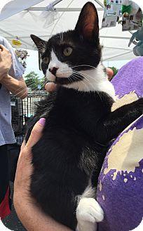 Trenton, NJ - American Shorthair. Meet Sneezy, a kitten for adoption. http://www.adoptapet.com/pet/16596276-trenton-new-jersey-kitten