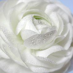 #White #ranunculus