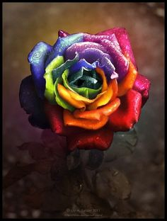 The Rainbow Rose. Wish this was a real rose, would be so cool if it was Rainbow Flowers, Rainbow Art, Colorful Flowers, Rainbow Colors, Colorful Candy, Candy Colors, Beautiful Rose Flowers, Amazing Flowers, Aesthetic Roses