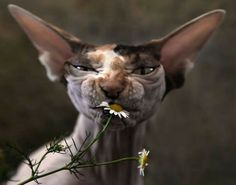 She's a Sphinx cat, she's a calico, she's freakin' ugly.  Either that, or she just tasted something really, really nasty!