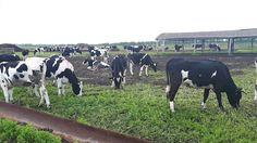 Сколько могут стоить эти товарные телки молочного направления?    +79656176005 WhatsApp пишите