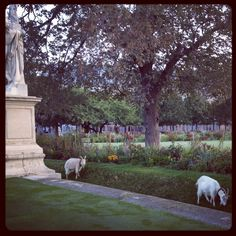 goats early in the morning in the jardins des tuileries, paris, october 2012