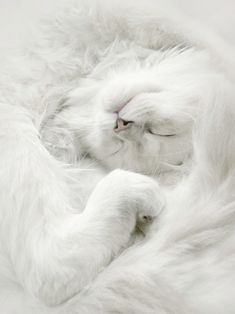 Cute little white fluff ball | cat | furry | feline | soft | dreaming | curled up | animal kingdom  | gorgeous