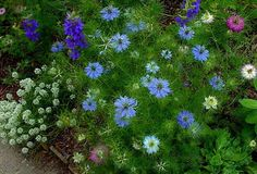 Nigella damascena (Love-in-a-mist) keeps going for most of the year as it self-sows easily and continuously.