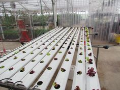 Clean lettuce cultivation in an organic greenhouse, Colorado.  ~Photo by Moria