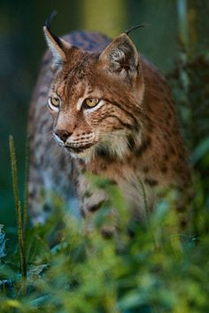 "beautiful-wildlife: ""Male Lynx by © Stefan Rosengarten """