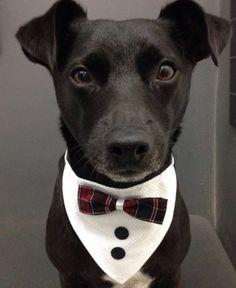 Bandana Social pacote com 10 unidades Dog Accesories, Dog Clothes Patterns, Dog Crafts, Dog Items, Pet Fashion, Dog Bows, Dog Pattern, Pet Costumes, Dog Dresses