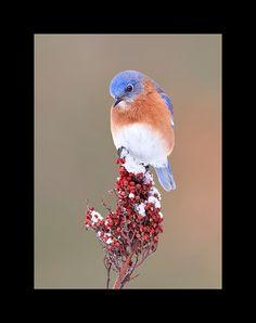 Eastern bluebird on smooth sumac bird by onthewingbirdphotos