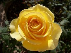 Who Is Saint Rose   ... you are looking for a big yellow rose, St. Patrick is a great choice