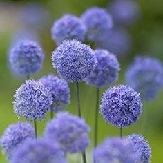 JULIA'S GARDEN-10 BLUE ALLIUM CAERULEUM-PERENNIAL SPRING BULBS