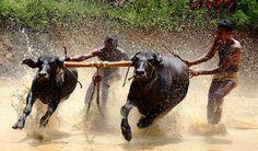 Buffalo Race  Maniserry-Ottapalam   Kerala   India.