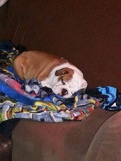 Sleeping bulldog puppy