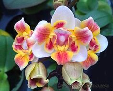 Phal. Be Glad Peloric- Orchids Deluxe- Phalaenopsis- Be Glad Peloric