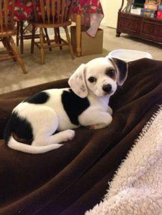 """16. """"Cheagle"""" (Chihuahua and Beagle)"""