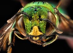 Biene (Ceratina smaragdula), photo: Native Bee Inventory and Monitoring Lab, U.S. Geological Survey