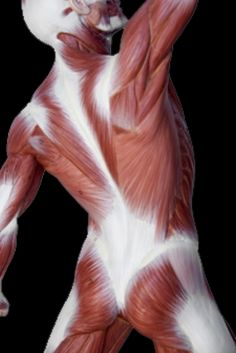 What Is Acupressure The white streaks and pure white stuff is all fascia! Acupressure, Acupuncture, Health And Wellbeing, Health Benefits, What Is Fascia, Fascia Stretching, Fascia Blasting, Fitness Backgrounds, Arteries And Veins