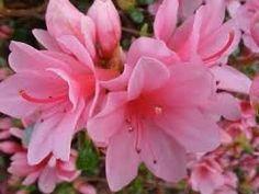 existem quantos tipos da flor azaleia - Pesquisa Google