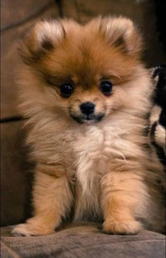 Zuri, Poomeranian puppy, belongs to my friend ♥ – Welpen Cute Funny Animals, Cute Baby Animals, Animals And Pets, Cute Dogs, Too Cute Puppies, Funny Dogs, Cute Pomeranian, Pomeranian Memes, Puppy Care